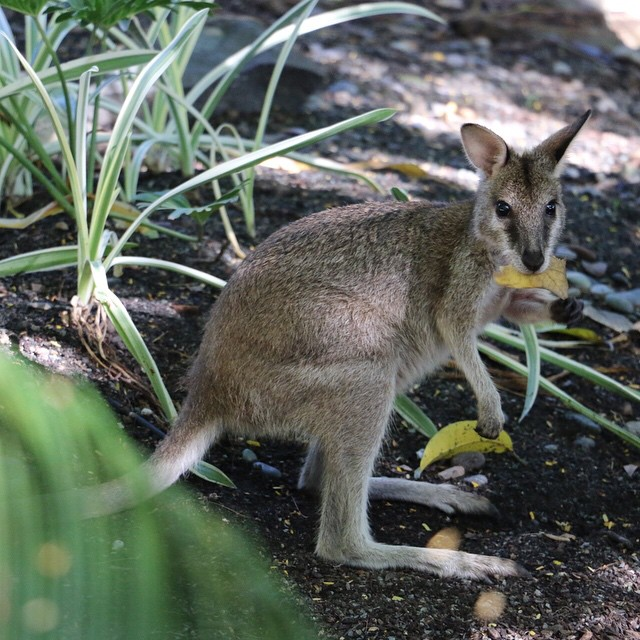 A young Rock Wallaby